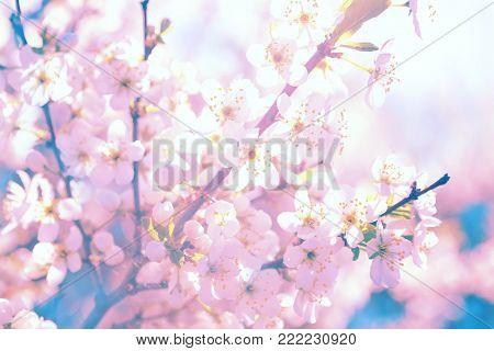 Soft blur of pink sakura flowers cherry blossom with soft blur background.
