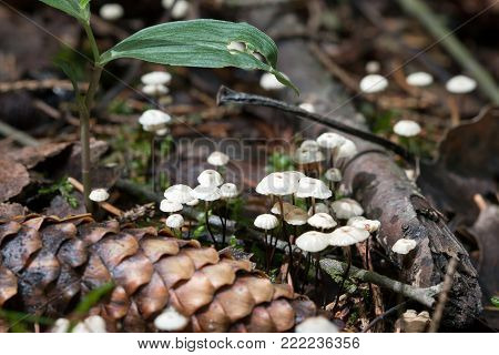 Marasmius - small inedible fungus growing abundantly