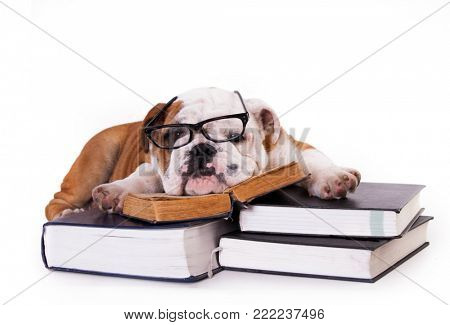 dog bulldog in glasses rests on books, gnawing granite science