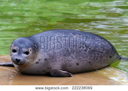 Cute harbor seal (Phoca vitulina) lies on a stone and looking at camera.