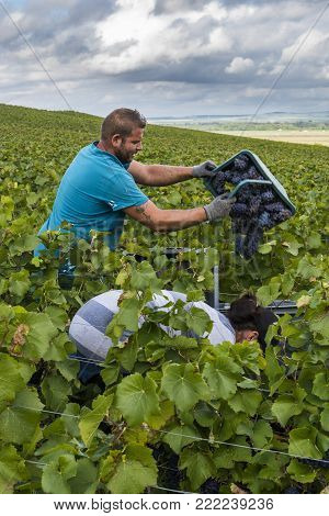 Verzy, France - September 10, 2017: Harvest of Pinot Noir grapes in the Champagne region with hidden female worker and male worker with basket of grapes in the vineyard.