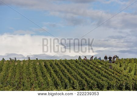 Verzy, France - September 9, 2017: Harvest of the grapes in the champagne area with people cutting pinot noir and chardonnay grapes in the vineyards at Verzy.