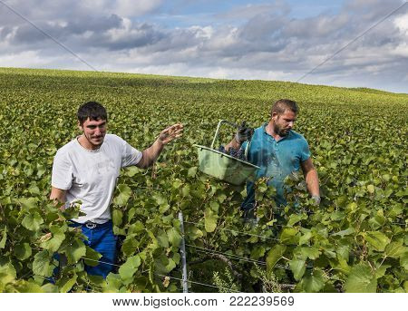 Verzy, France - September 10, 2017: Harvest of Pinot Noir grapes in the Champagne region with male workers in the vineyard.