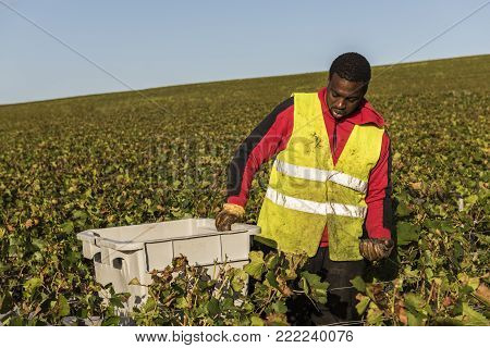 Trepail, France - August11, 2017: Harvest in the vineyards with worker with crate in the Champagne region with fields of pinot noir grapes.