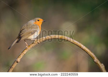 a robin bird Erithacus rubecula on a perch
