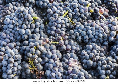 Bunches of Pinot Noir Grapes in the Champagne region, Trepail, France.