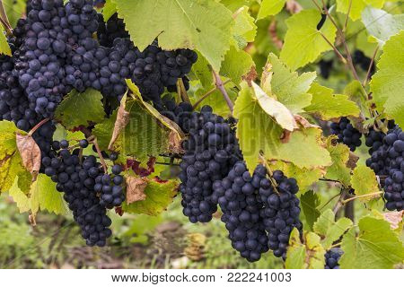 Blue Pinot Noir Grapes in the Champagne region in Autumn near Verzy and Reims.