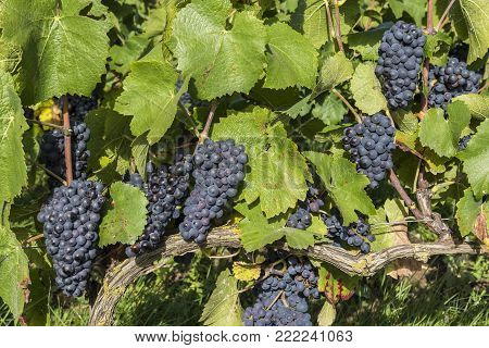 Vine in a vineyard with Pinot Noir grapes in autumn during harvest in the Champagne region near Reims and Trepail, France.