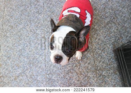 gazing dog or French bulldog on the floor