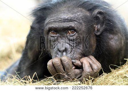 A very adorable Bonobo close up portrait