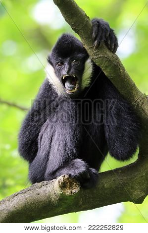 A White cheeked gibbon in a tree