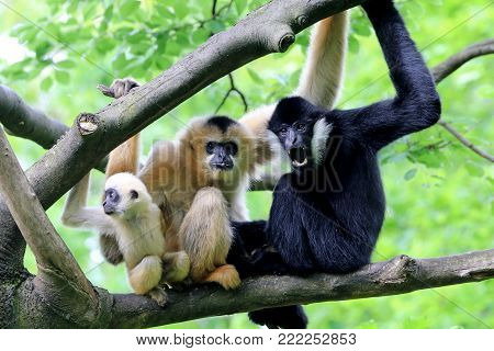 A white cheeked gibbon family in a tree
