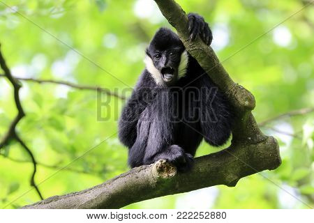 A male Yellow cheeked gibbon in a tree
