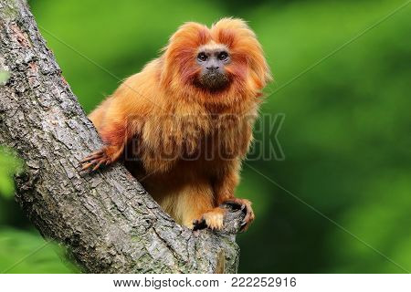 A Golden Lion Tamarin in a tree