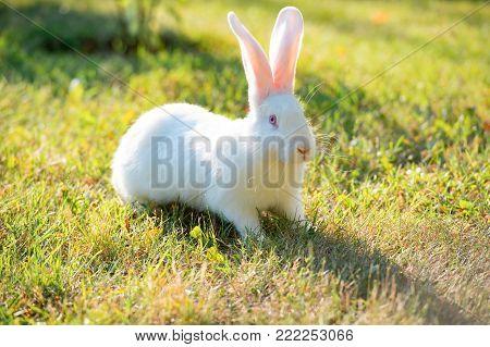 White rabbit on green grass. grazing white rabbit