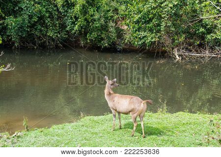 Sambar Doe Deer, Southeast Asian And Indian Deer, Standing And Eating Grass