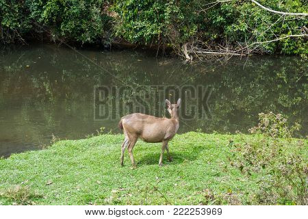 Sambar Doe Deer, Southeast Asian and Indian Deer