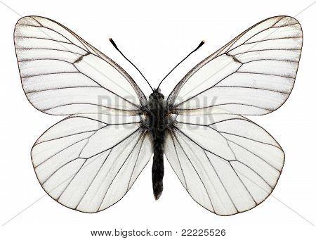 Isolated Black-veined White