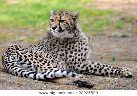 African Cheetah lying on grass