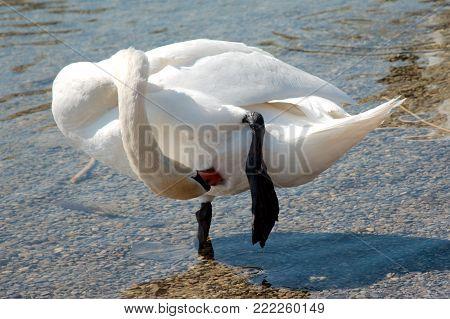 Single swan pruning itself on the edge of a lake