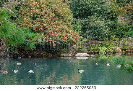 Ducks on pond of a Japanese zen garden in Kyoto, Japan.