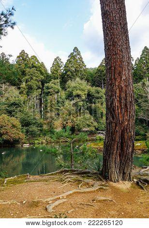 Huge trees at a Japanese zen garden in Kyoto, Japan.