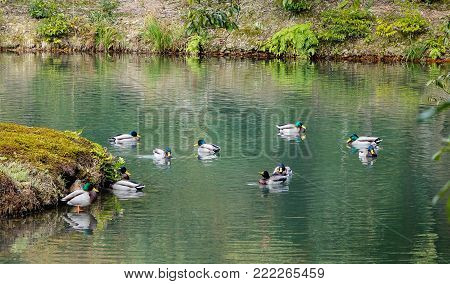 Ducks swim on pond of a Japanese zen garden in Kyoto, Japan.