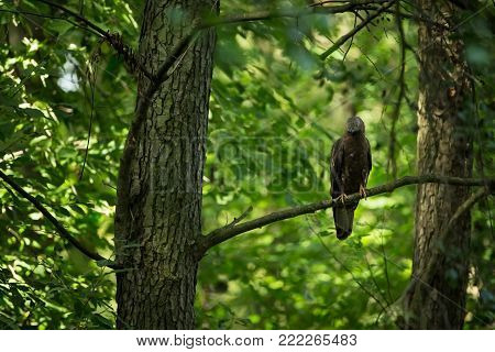 Pernis apivorus. Enlarged in Europe and West Asia. The wild nature of the Czech Republic. Beautiful image of nature. Wild nature. From bird life. Czech Republic. Photographed in the Czech Republic. Free nature. Bird on the tree.