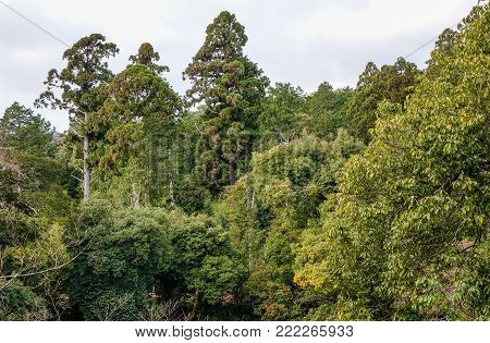 Pine tree forest in summer day. Nature background.