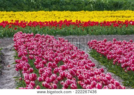 typical Dutch tulip fields in the spring