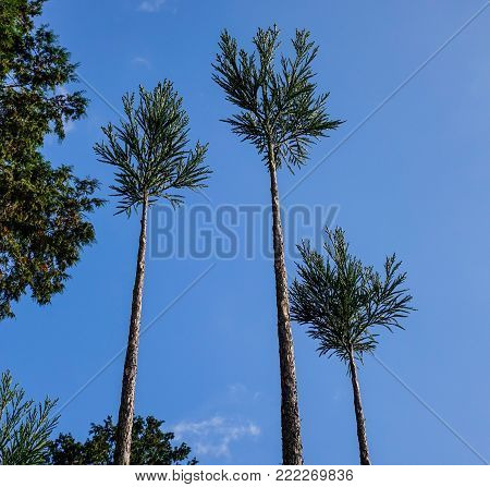 Small trees under blue sky at forest in Kyoto, Japan.