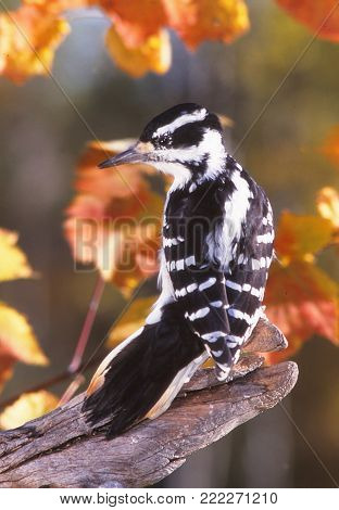 A female Hairy Woodpecker on a fall day.