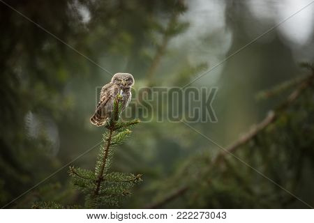 Glaucidium passerinum. It is the smallest owl in Europe. It occurs mainly in northern Europe. But also in Central and Southern Europe. In some mountain areas. Photographed in the Czech Republic. Wild nature. Beautiful picture. Spring nature, Owl on the tr