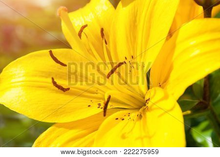 Spring flower background. Spring lily flower of yellow color blooming in the spring garden. Sunny spring background with spring lily flower in blossom. Closeup of spring lily flower under sunlight