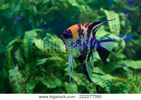 Pterophyllum. Freshwater fish from the family Cichlidae known to most aquarists as angelfish.