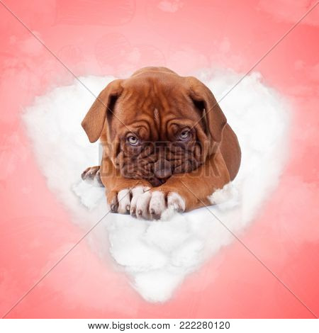 shy french mastiff puppy dog lying on a love cloud on red valentine's day background