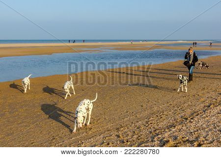 Kijkduin, The Hague, the Netherlands - 14 January 2018: Dutch national dalmatian dog club get together at Kijkduin beach, owners and their dogs having fun.
