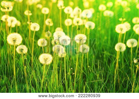 Field of white dandelions. Dandelions on sunny meadow on the sunset. Nature background.