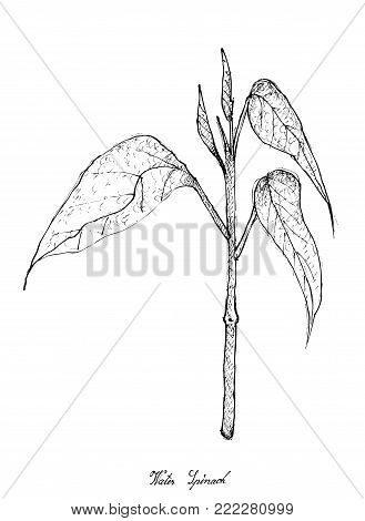 Vegetable Salad, Illustration of Hand Drawn Sketch Delicious Fresh Green Water Spinach Plants Isolated on White Background.