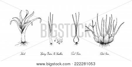 Bulb and Stem Vegetable, Illustration Hand Drawn Sketch Fresh Leek, Pearl Onion, Potato Onion and Scallion for Seasoning in Cooking. Isolated on White Background.