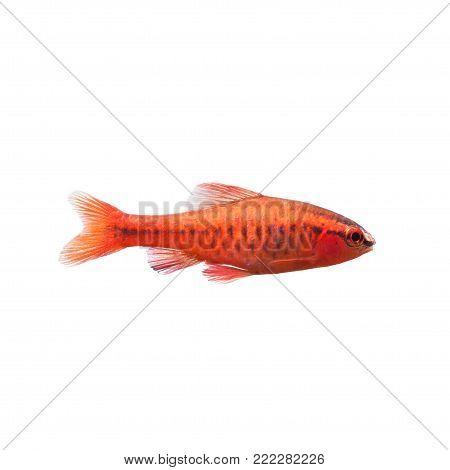Cherry barb male fish on white. Tropical freshwater aquarium Puntius titteya belonging to the family Cyprinidae