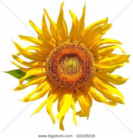 bright yellow sunflower isolated over white. object poster