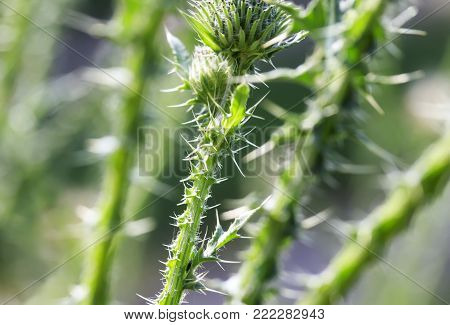 green dangerous Bush of thorns of a Thistle with sharp and long spines and thorns closeup