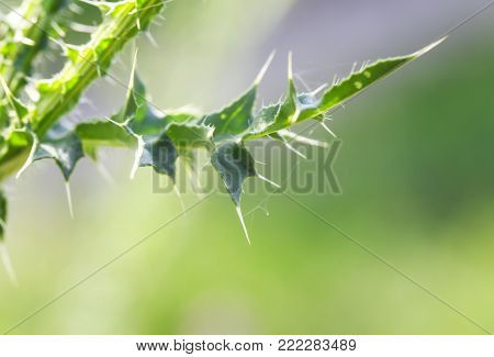 threat green leaf of a prickly Thistle with a sharp and long spines and thorns closeup