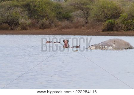 Dead hippo on Kruger National park waterhole.  Safari and wildlife, South Africa. African animals