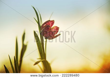 snake's head fritillary (Fritillaria meleagris) or chequered daffodil, the blooming flower against a warm sunset sky with copy space, spring greeting card, soft focus