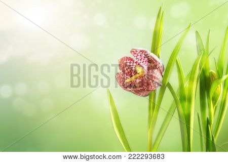 snake's head fritillary (Fritillaria meleagris) or chequered daffodil, flower and leaves against agreen spring background with blurry bokeh lights, copy space, greeting card