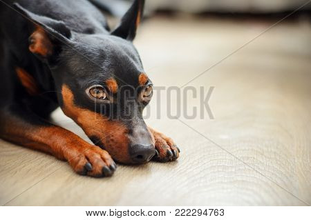 Dog dwarf pincher lies on the floor and looks sad eyes