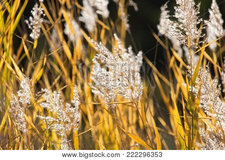 bulrush autumn nature as background . In the park in nature