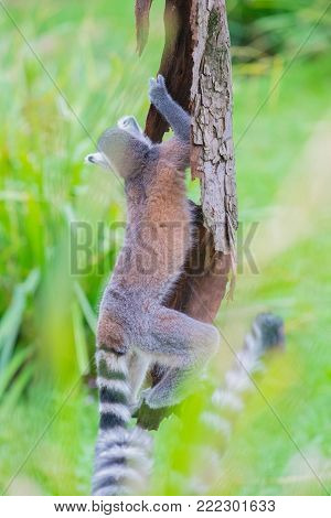 A photo in a vertical composition of a ringtail lemur climbing a tree